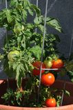 Mi cosecha del tomate del patio Imagen de archivo libre de regalías