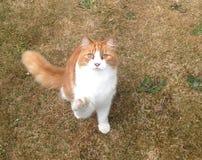 Mi gato del jengibre Fotografía de archivo