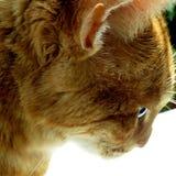 Mi gato hermoso con los ojos verdes foto de archivo