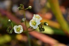 Miękcy rosiczka kwiaty Obraz Stock