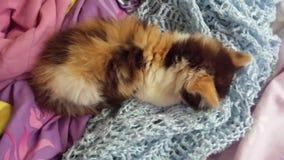 Mi Kitty Burying Head en manta Fotos de archivo