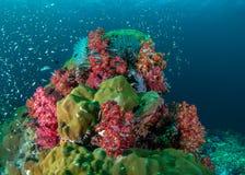 Miękki koral Zdjęcia Royalty Free
