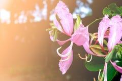 Miękki Storczykowy drzewo, Purpurowy storczykowy drzewo, Motyli drzewo, Purpurowy bauhinia, Hong Kong storczykowego drzewa Bauhin Fotografia Stock