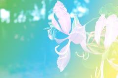 Miękki Storczykowy drzewo, Purpurowy storczykowy drzewo, Motyli drzewo, Purpurowy bauhinia, Hong Kong storczykowego drzewa Bauhin Obrazy Stock