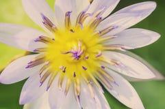 Miękkiego koloru Wodna leluja Zdjęcia Royalty Free