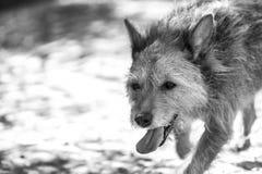 Mi Miti femenino del perro que camina solamente Foto de archivo libre de regalías