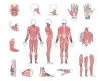 mięśnia system royalty ilustracja