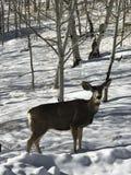 Mi pequeña gama, un ciervo, un ciervo femenino foto de archivo