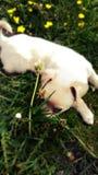Mi perrito Bielka foto de archivo libre de regalías