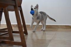 Mi perrito fornido loco en un afertnoon imagenes de archivo