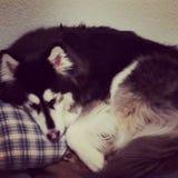Mi perro el dormir imagenes de archivo