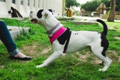 Mi perro Lala Foto de archivo libre de regalías