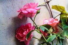 Mi rosa más hermosa fotos de archivo