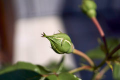 Mi Rose Collection Fotografía de archivo