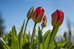 Mi tulipes de rouge de fleur Images stock