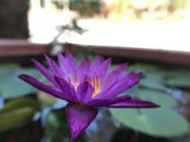 Mi Violet Lotus fotografía de archivo