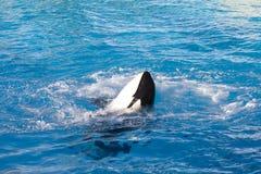 miły czas wieloryb zabójca Zdjęcie Royalty Free