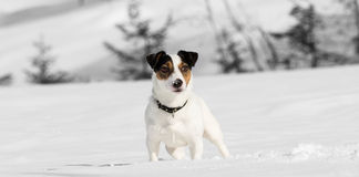 Jack Russell Terrier Royalty Free Stock Photos