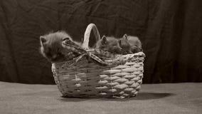Miado dos gatinhos em uma cesta, interna video estoque