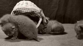 Miado dos gatinhos em uma cesta, interna filme