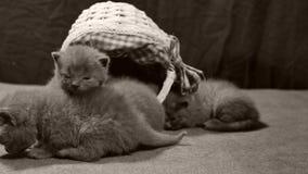 Miado dos gatinhos em uma cesta, interna vídeos de arquivo