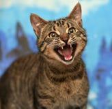 Miados do gato de gato malhado Fotos de Stock