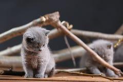 Miagolio dei gattini di Britannici Shorthair fra i rami Immagine Stock