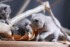 Miagolio dei gattini di Britannici Shorthair fra i rami Fotografia Stock Libera da Diritti