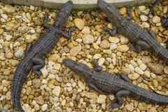 Miami Alligatori all'azienda agricola del coccodrillo dell'azienda agricola dell'alligatore Fotografie Stock