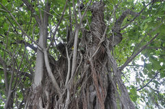Miami,august 9th:Banyan Tree from Miami in Florida USA Royalty Free Stock Images
