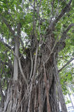 Miami,august 9th:Banyan Tree from Miami in Florida USA Stock Images