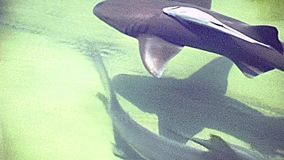 Miami Beach lemon shark