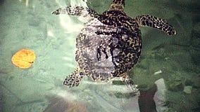 Miami Beach sea turtle. Swimming sea turtle of Miami Beach in Florida in 70`s. Historical United States of America in 1978 stock video footage