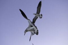Miami beach seagulls Royalty Free Stock Image
