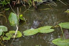 Miami Coccodrillo nei terreni paludosi Immagine Stock
