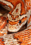 Miami corn snake. A miami corn snake , one of a number of many breeds of corn snake Royalty Free Stock Photo
