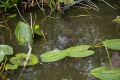 Miami Crocodilo nos marismas Imagem de Stock