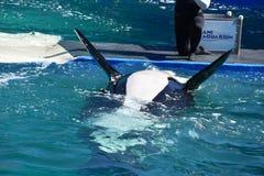 Miami, Florida - EUA - 8 de janeiro de 2017: Mostra da baleia de assassino fotografia de stock royalty free