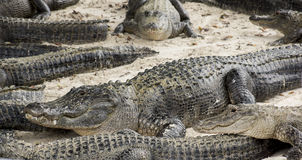Miami, Florida, U.S.A. - azienda agricola dell'alligatore dei terreni paludosi Fotografia Stock