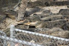 Miami, Florida, U.S.A. - azienda agricola dell'alligatore dei terreni paludosi Immagini Stock Libere da Diritti