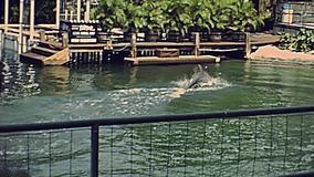 Miami Seaquarium home of flipper. Miami, Florida, United States - Circa 1979: dolphin show with people in vintage 70`s dress. Seaquarium home of flipper of Miami stock video footage