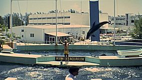 Miami 1970s animal trainer. Miami, Florida, United States - Circa 1978: Historical Miami Seaquarium in the 1970s. Animal trainer performing dolphin jumps in the stock video footage