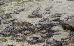 Miami Florida, USA - Evergladesalligatorlantgård Arkivbild