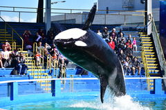 Miami Florida - USA - Januari 08, 2016: Späckhuggare- och delfinshowen Fotografering för Bildbyråer