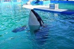Miami, Florida - USA - January 08, 2017:Killer whale swim Royalty Free Stock Photos