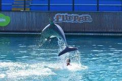 Miami, Floryda Styczeń 08, 2016: - usa - Delfinu przedstawienie Miami Fotografia Royalty Free