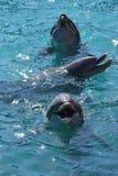 Miami, Floryda Styczeń 08, 2017: - usa - Delfiny przy Seaquarium Obraz Stock