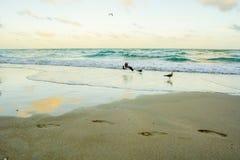 Miami plaży Seagulls Zdjęcia Stock