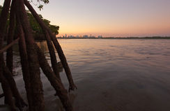 Miami skyline with mangroves Stock Photos