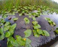 Miami träsk som söker efter krokodiler Arkivbild